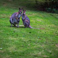 Male (look closely) and female wallaby interacting.
