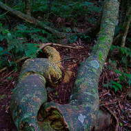 Rainforest tree, first it went this way, then it went that way.