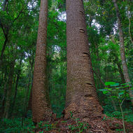 Limb free trunks of Bunya pines.