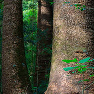 Trunks of Bunya pines in the rainforest.