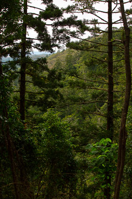 Thumbnail image ofLooking out through the Bunya pines to the open...