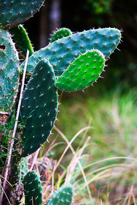 Thumbnail image ofEar on ear, prickly pear on the edge of the rainforest.