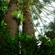 A pair of Bunya pines reaching for the light above the rainforest.