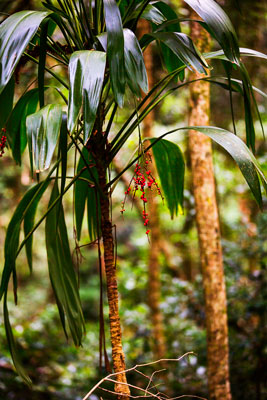 Thumbnail image of Red berries on a palm in the rainforest.