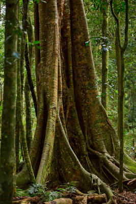 Thumbnail image of Buttressed rainforest tree.