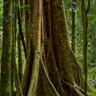 Buttressed rainforest tree.