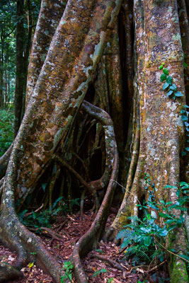 Thumbnail image ofThe open core of a rainforest tree.