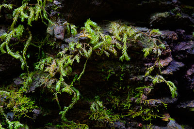 Thumbnail image ofSoft, damp moss in the rainforest.