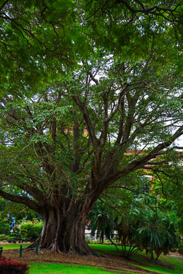 Thumbnail image ofLarge tree in New Farm park in front of the old...