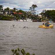 Fishing boat trawling up Brisbane River gets lots of attention from seabirds.