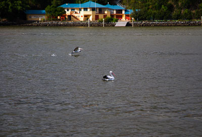 Thumbnail image ofPelican taking off into the wind up Brisbane River.