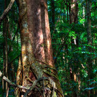 A strangler fig gets hold of a tree in the rainforest.
