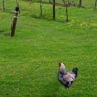 Vineyard rooster.
