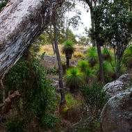 Grasstrees, xanthorrhoea, thriving on the slope at the side of the Coomba waterhole.
