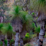 Profusion of well-established grass trees, xanthorroea.