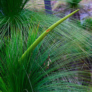 Central flower of a  grass tree, xanthorroea, something finds it good eating.