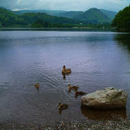 Ducks on Rydal Water.