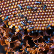 Intricate structure of the hive of stingless native bees, trigona.