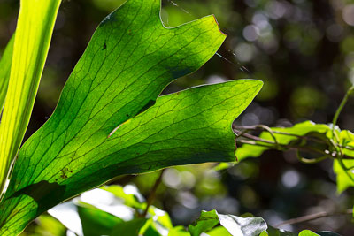 Thumbnail image ofBacklit frond of a staghorn fern, platycerium.