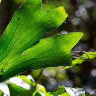 Backlit frond of a staghorn fern, platycerium.