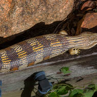 An Eastern Blue Tongue lizard, tiliqua scincoides, warms itself in the winter sun.