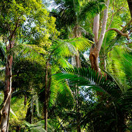 Mix of palms and eucalypts in the rainforest.