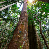 Looking up the trees at the light in the rainforest.