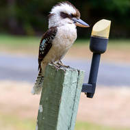 Alighted; Kookaburra scrounging for tit-bits (but what's that in its beak?).