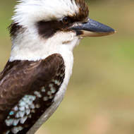 Kookaburra, right profile showing the funky hairdo.