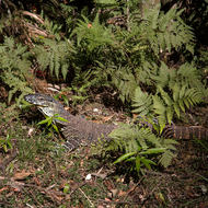 Goanna, a monitor lizard, lurking by a walking track.