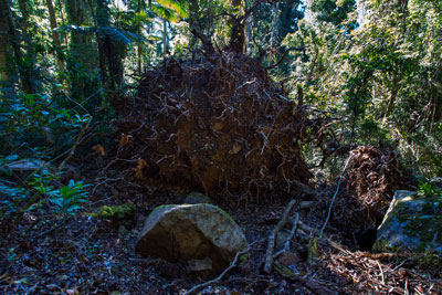 Thumbnail image ofRoots of a fallen tree showing the thinness of...