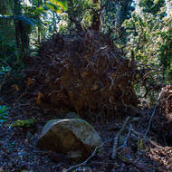 Roots of a fallen tree showing the thinness of the regolith and very little penetration into the rocky core of Mount Warning.