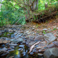 The undercut bank of Korrumbyn Creek held together by tree roots in the late afternoon light.