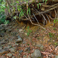 The undercut bank of Korrumbyn Creek held together by tree roots.
