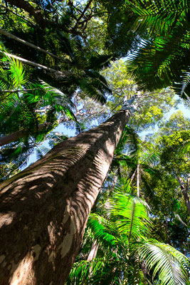 Thumbnail image ofLooking up a rainforest giant tree.