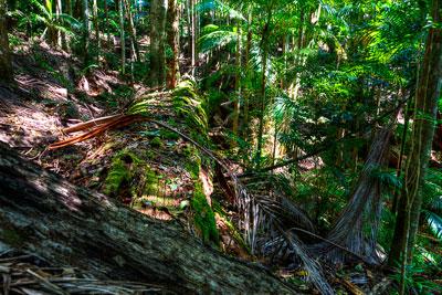 Thumbnail image ofFallen debris on the rainforest floor, unseasonably...