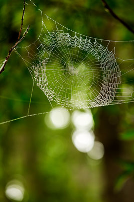 Thumbnail image ofSpider web capturing the morning mist and highlighted...
