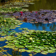 Water lilies and pond at Mavis's Kitchen.