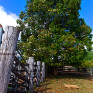 Large tree offers some shade over a cattle loading race.