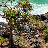 Defiant Pandanus pines, pedunculatus, on the rocky shore of Winch Cove.