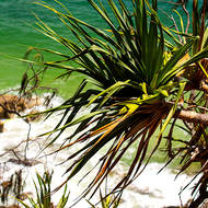Deep green waters of Laguna Bay through the Pandanus pines, pedunculatus.