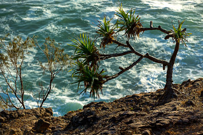 Thumbnail image ofPandanus Pine with all the growth on one side...