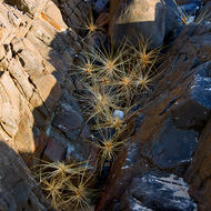 Spiky tumbling weeds end up in crevices in the sea shore rocks.