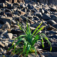 A young Pandanus Pine, pedunculatus, makes its home among the rocks on the seashore.