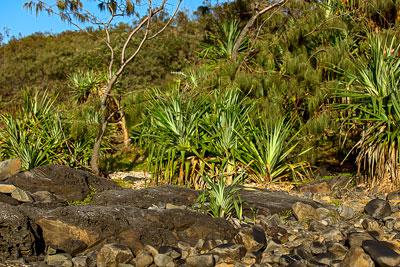 Thumbnail image ofPandanus Pines lining up along the rocks.