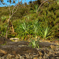 Pandanus Pines lining up along the rocks.