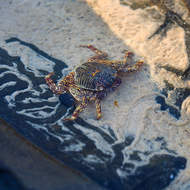 Snail trail: Get out of my way. Pale-lined tropical rock crab, grapsus albolineatus.