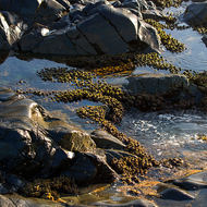 Limpets, patellogastropoda, line up along the tide pools.