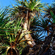 Pandanus Pines, pedunculatus, against the clear blue morning sky.