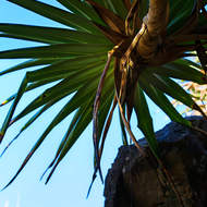 Looking up through a Pandanus Pine, pedunculatus.